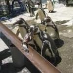 動物園で「流しアジ」、ペンギンが挑戦中 なぜアジ?